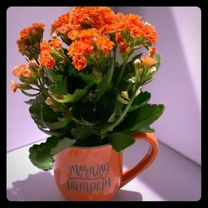 """Hand Crafted Accents - Kalanchoe Plant with orange """"Morning Pumpkin"""" cup"""